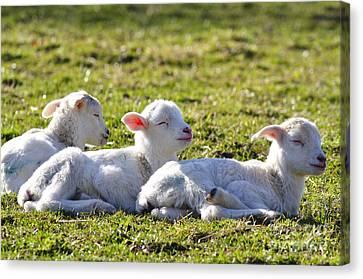 Three Little Lambs Canvas Print