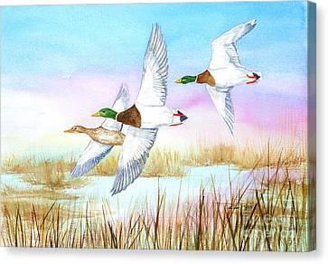 Three Mallards Canvas Print by Pauline Ross