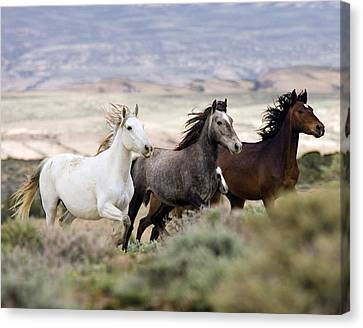Three Mares Running Canvas Print by Carol Walker