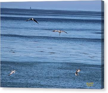 Three Pelicans Diving Canvas Print