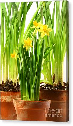 Three Pots Of Daffodils On White  Canvas Print by Sandra Cunningham