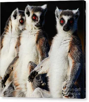 Three Ring-tailed Lemurs Canvas Print