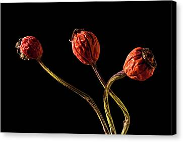 Three Rose Hips Canvas Print