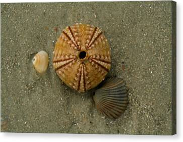Three Shell Study Canvas Print by Todd Breitling