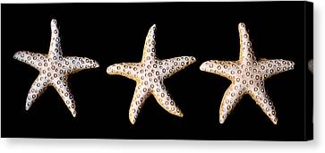 Three Stars - Sepia Canvas Print