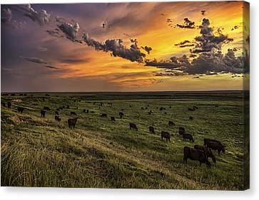 Angus Steer Canvas Print - Three by Thomas Zimmerman