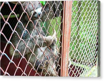 Three Toed Sloth In A Cage Canvas Print
