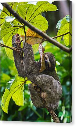 Three-toed Sloth, Sarapiqui, Costa Rica Canvas Print by Panoramic Images