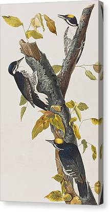 Three Toed Woodpecker Canvas Print by John James Audubon