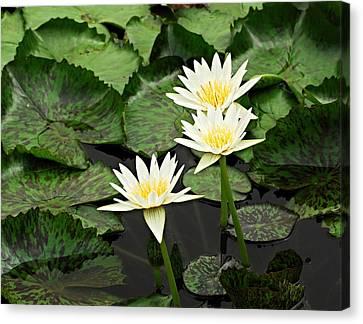 Three Water Lilies Canvas Print