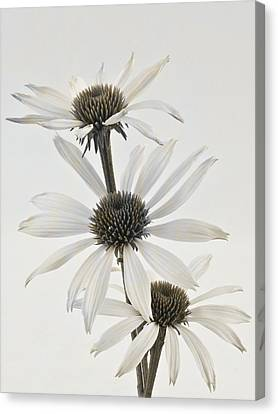 Three White Coneflowers Canvas Print by Sandra Foster