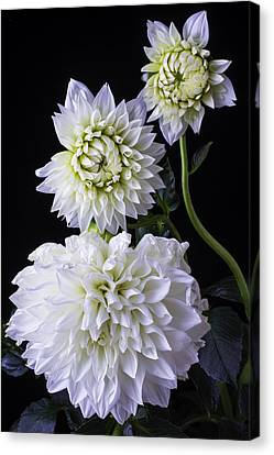 Large White Flower Canvas Print - Three White Dahlias by Garry Gay