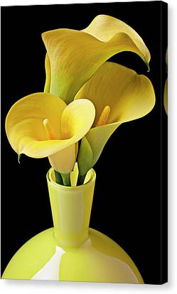 Three Yellow Calla Lilies Canvas Print by Garry Gay