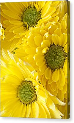 Three Yellow Daisies  Canvas Print by Garry Gay