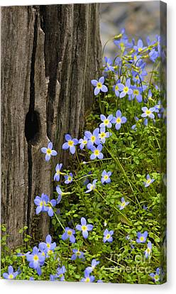 Thyme-leaved Bluets - D008426 Canvas Print by Daniel Dempster