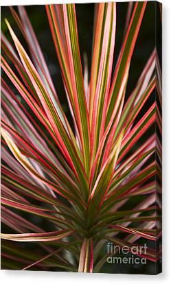 Ti Plant Cordyline Terminalis Red Ribbons Canvas Print by Sharon Mau