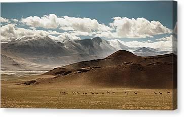 Tibetan Wild Horses Canvas Print