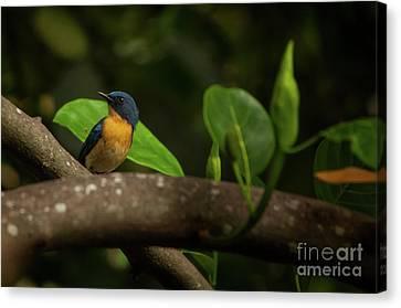 Tickell's Blue Flycatcher Canvas Print by Venura Herath