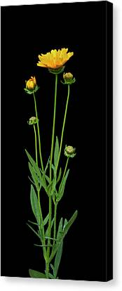 Tickseed Canvas Print by Michael Peychich