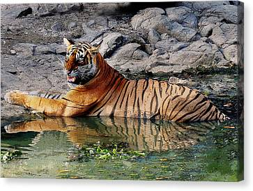Tiger Aggression  Canvas Print by Manjot Singh Sachdeva