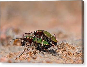 Canvas Print featuring the photograph Tiger Beetle by Richard Patmore