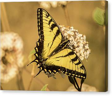 Tiger Butterfly 8 Canvas Print