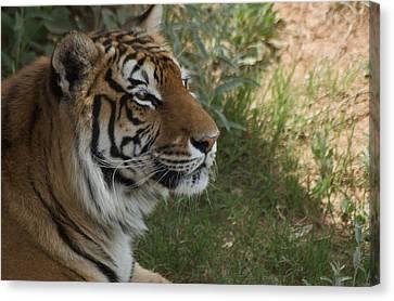 Tiger I Canvas Print by Susan Heller