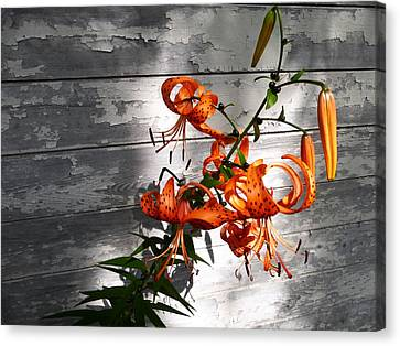 Tiger Lily Drama Canvas Print by Tina M Wenger