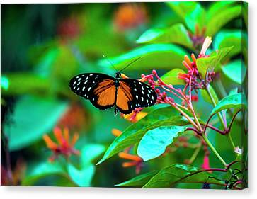 Canvas Print featuring the photograph Tiger Longwing Butterfly by David Morefield