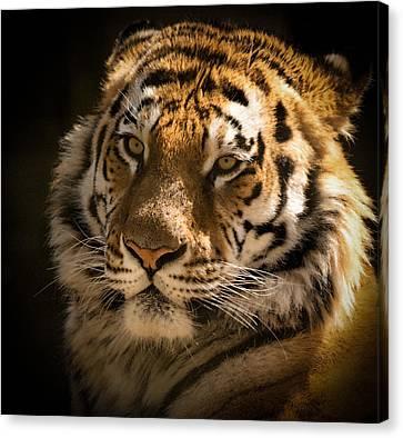 Tiger Portrait Canvas Print by Chris Boulton