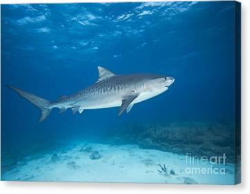 Tiger Shark Canvas Print by Dave Fleetham - Printscapes