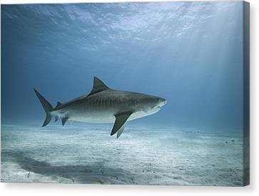 Tiger Shark In Water Canvas Print by Alastair Pollock Photography