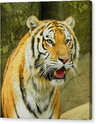 Canvas Print featuring the photograph Tiger Stare by Sandi OReilly