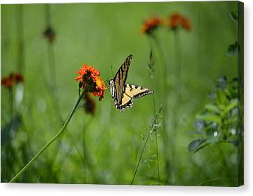 Tiger Swallow  Canvas Print by Kerry Conway