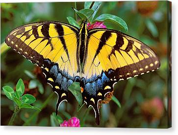 Tiger Swallowtail Canvas Print by Alan Lenk