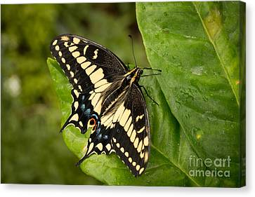Anise Canvas Print - Anise Swallowtail Butterfly by Ana V Ramirez