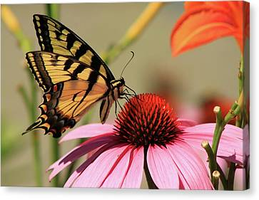 Tiger Swallowtail Butterfly Coneflower Canvas Print by John Burk