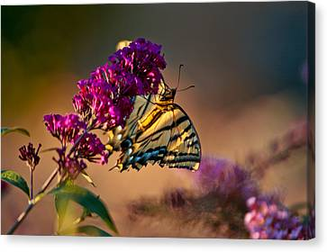 Tiger Swallowtail Butterfly Canvas Print by Laura Scott