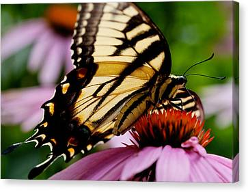 Tiger Swallowtail Butterfly On Coneflower Canvas Print