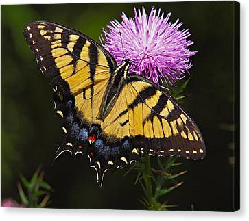 Tiger Swallowtail Canvas Print by William Jobes