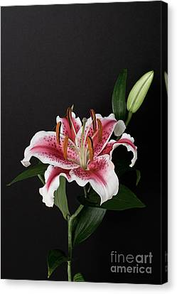 Tiger Woods Lily Canvas Print