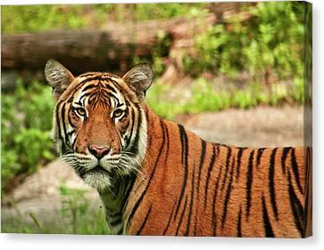 Tiger  Canvas Print by Zev Steinhardt