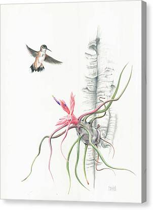 Tillandsia Bulbosa With Hummingbird Canvas Print