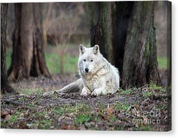 Canvas Print featuring the photograph Timber Wolf by Andrea Silies