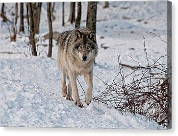 Timber Wolf In Snow Canvas Print by Michael Cummings