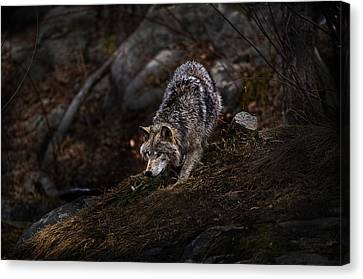 Timber Wolf On Hill Canvas Print by Michael Cummings