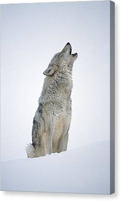 Wolf Canvas Print - Timber Wolf Portrait Howling In Snow by Tim Fitzharris