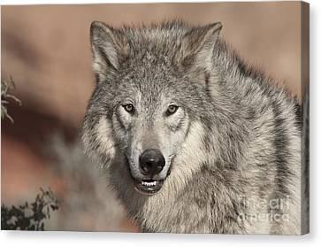 Timber Wolf Portrait Canvas Print by Sandra Bronstein