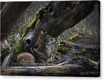 Timber Wolf Canvas Print by Randy Hall