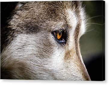 Canvas Print featuring the photograph Timber Wolf Stare by Teri Virbickis